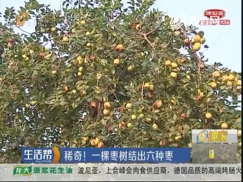 潍坊:稀奇!一颗枣树结出六种枣