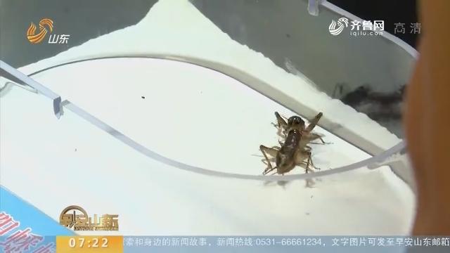 """""""2018宁阳蟋蟀世界杯""""开赛"""