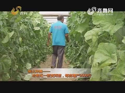 亲土种植——哈密瓜一茬变两茬,每亩增产3000斤
