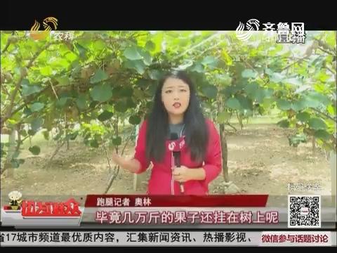 【五莲8万斤奇异果滞销】国庆假期:市民慕名来采摘 卖出一百斤