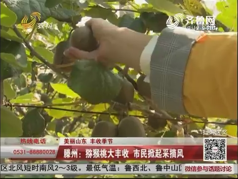【美丽山东 丰收季节】滕州:猕猴桃大丰收 市民掀起采摘风