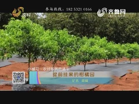 【小螺号·农技办事直通车】提早挂果的柑橘园