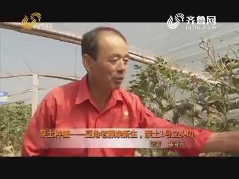 亲土种植——豆角老藤焕新生,亲土1号立头功