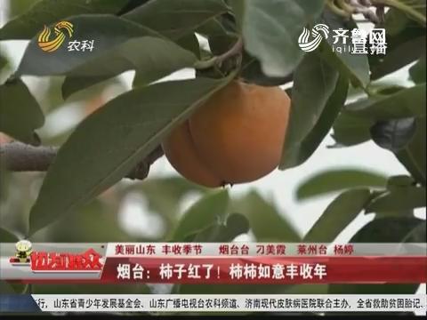 【美丽山东 丰收季节】烟台:柿子红了!柿柿如意丰收年