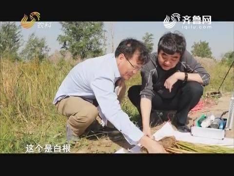 【农大腐植酸 挑战吉尼斯】用农大免追肥 一亩盐碱地增收260