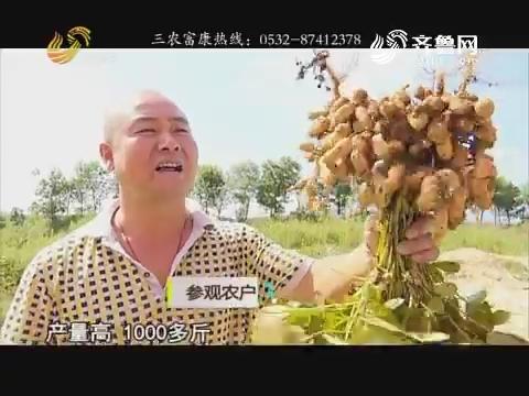 【农科大户俱乐部】亩产1483斤 花生高产有良方