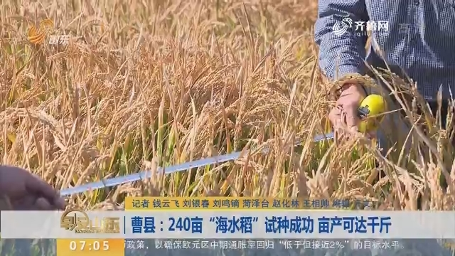 """曹县:240亩""""海水稻""""试种成功 亩产可达千斤"""