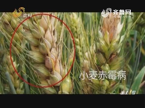 小麦秋播期 农业部门提前防控赤霉病