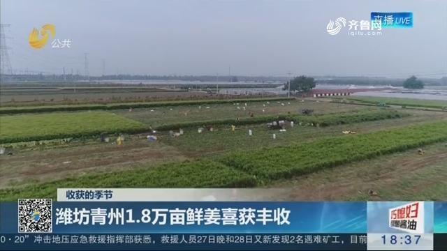 【收获的季节】潍坊青州1.8万亩鲜姜喜获丰收
