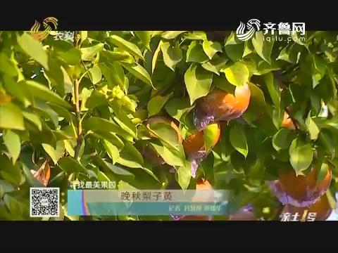 寻找最美果园:晚秋梨子黄