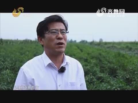 【品牌农业在山东】武城辣椒红了