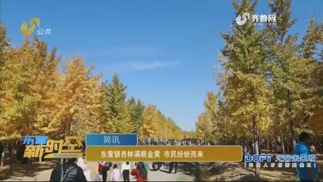 【简讯】东营银杏林满眼金黄 市民纷纷而来
