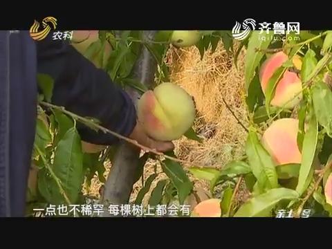 """【寻找最美果园】""""狠""""心种好桃"""