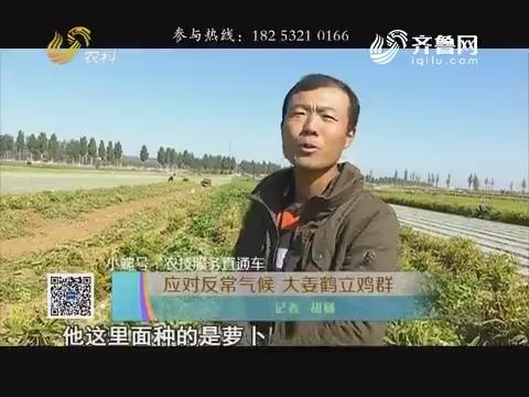 【小螺号·农技服务直通车】应对反常气候 大姜鹤立鸡群