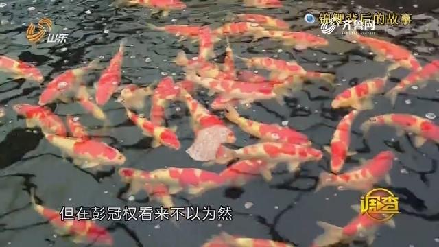 调查:锦鲤背后的故事