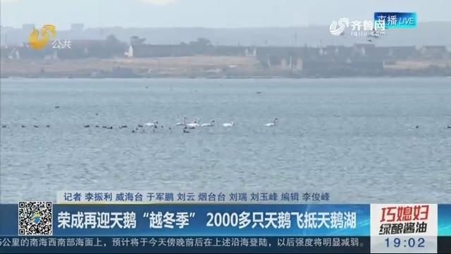"""荣成再迎天鹅""""越冬季"""" 2000多只天鹅飞抵天鹅湖"""