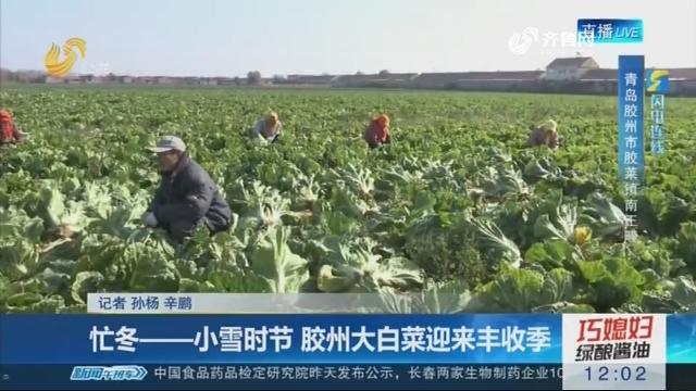 【闪电连线】忙冬——小雪时节 胶州大白菜迎来丰收季