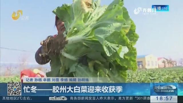 忙冬——胶州大白菜迎来收获季