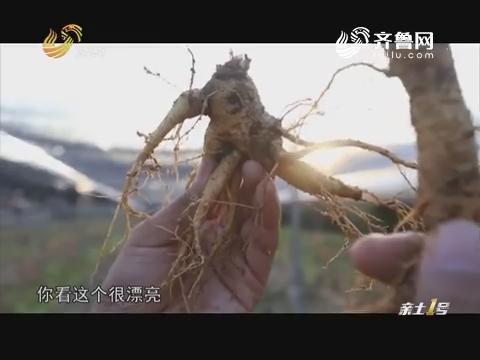 【品牌农业在山东】文登西洋参:从八粒种子到百亿产业