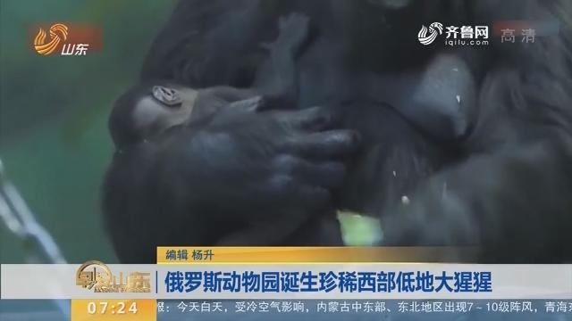 俄罗斯动物园诞生珍稀西部低地大猩猩