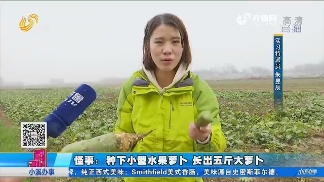 【肥城】怪事:种下小型水果萝卜 长出五斤大萝卜