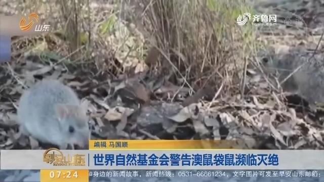 世界自然基金会警告澳鼠袋鼠濒临灭绝