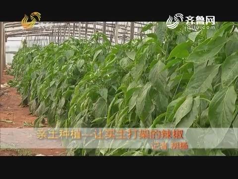 亲土种植——让买主打架的辣椒