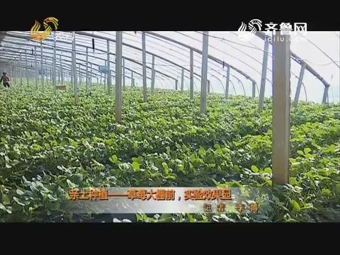 亲土种植——草莓大棚前,实验效果显