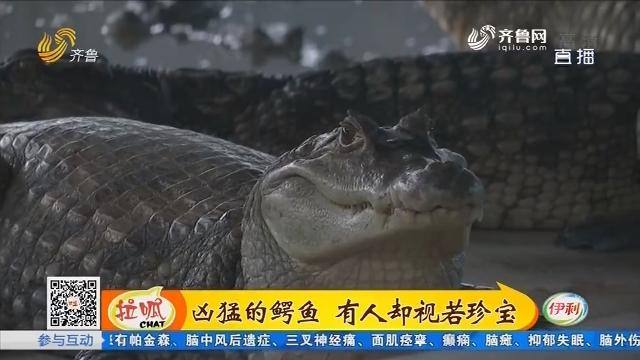 郓城:凶猛的鳄鱼 有人却视若珍宝