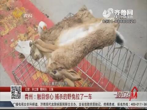 青州:惊心动魄 捕杀的野兔拉了一车