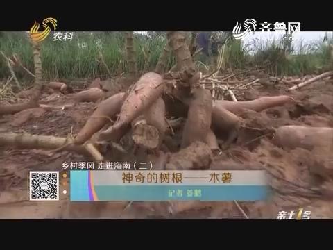 【乡村季风 走进海南(二)】神奇的树根——木薯