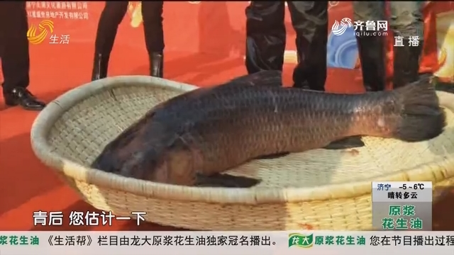 济宁:鱼王!81.8斤头鱼拍出288888元