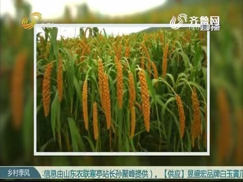 孙胜伟和他的黄草坡小米