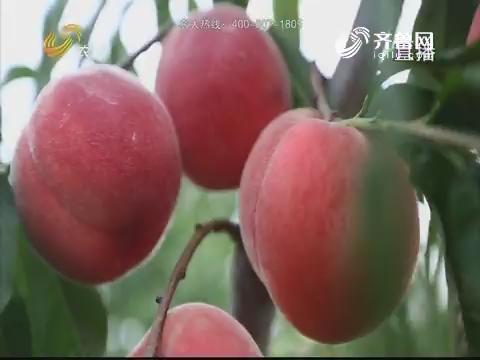 【农大腐植酸《了不起的农作物》(一)】公茂礼的桃子