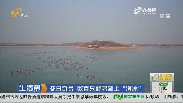 """淄博:冬日奇景 数百只野鸭湖上""""滑冰"""""""