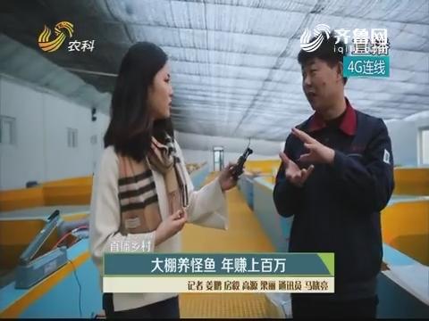 【直播乡村】大棚养怪鱼 年赚上百万