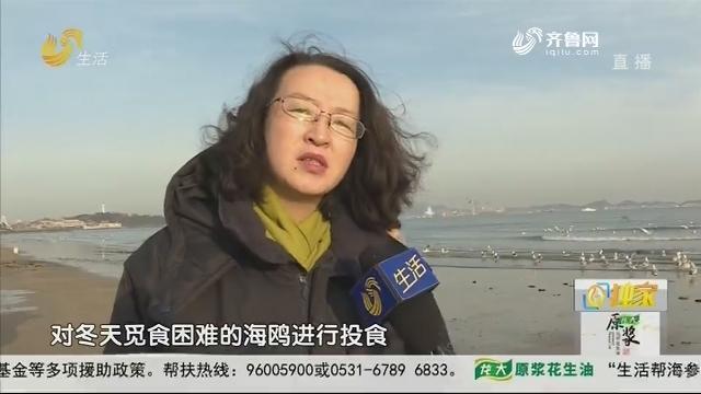 烟台:一声哨响 成群海鸥奋起争食