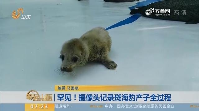 罕见!摄像头记录斑海豹产子全过程