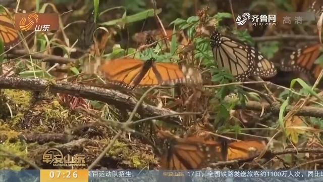 墨西哥发现帝王蝶新栖息地