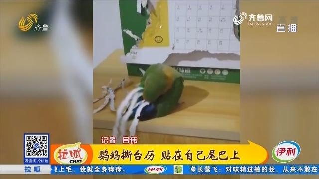 济南:鹦鹉撕台历 贴在自己尾巴上