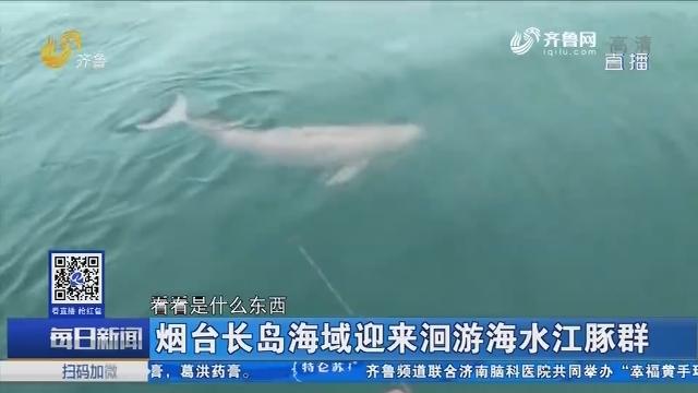 烟台长岛海域迎来洄游海水江豚群