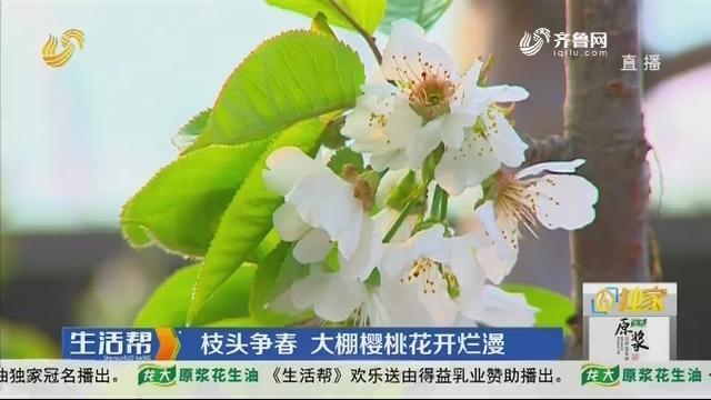 潍坊:枝头争春 大棚樱桃花开烂漫
