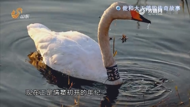 观察:他和大天鹅的传奇故事