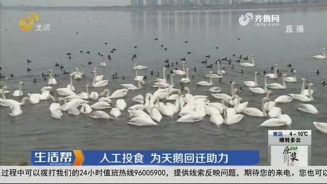 荣成:人工投食 为天鹅回迁助力