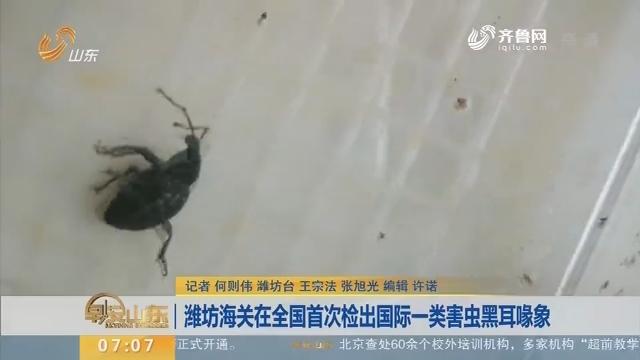 潍坊海关在全国首次检出国际一类害虫黑耳喙象