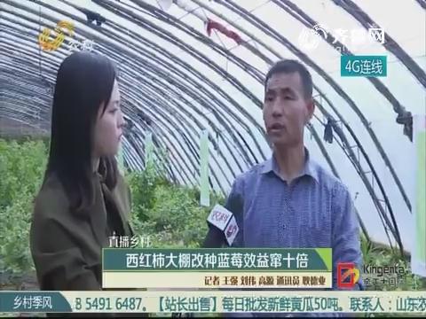 直播乡村:西红柿大棚改种蓝莓效益窜十倍