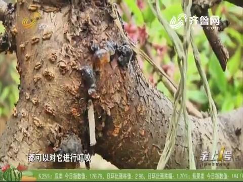 防备桃树流胶 早春就要入手