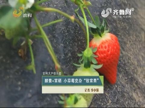 """【农科大户俱乐部】酵素+富硒 小草莓变身""""致富果"""""""