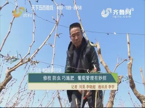 【天下五谷·果蔬保姆在行动】修枝 防虫 巧施肥 葡萄管理有妙招