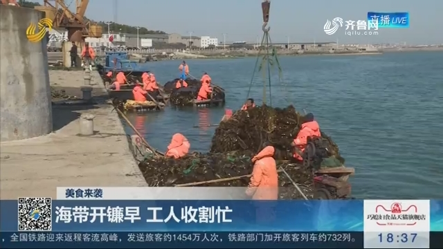 【美食来袭】荣成:海带开镰早 工人收割忙